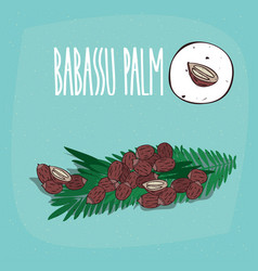 set of isolated plant babassu seeds herb vector image vector image