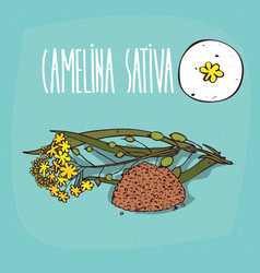 set of isolated plant camelina sativa flowers herb vector image