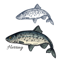 herring fish isolated sketch icon vector image vector image