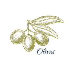 Green olives branch and olive oil sketch vector