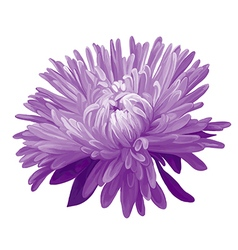 Purple aster vector
