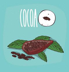 set of isolated plant cocoa beans herb vector image vector image