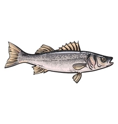 Hand drawn seabass sketch style vector