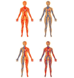 Human vascular system vector image