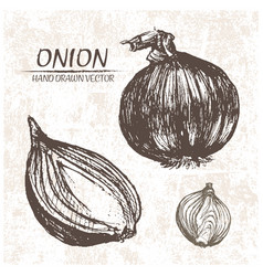 digital detailed onion hand drawn vector image vector image