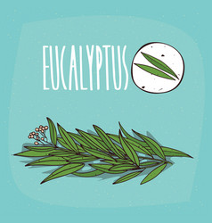 set of isolated plant eucalyptus leaves herb vector image vector image
