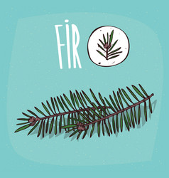 set of isolated plant fir leaves herb vector image