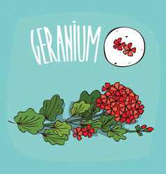 set of isolated plant geranium flowers herb vector image