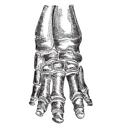 Bones of elephant foot vintage vector