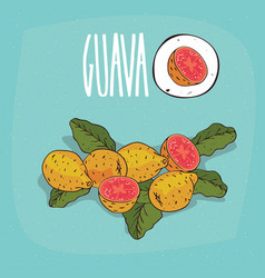 set of isolated plant guava fruits herb vector image vector image