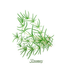 Sprigs of fresh delicious rosemary in realistic vector