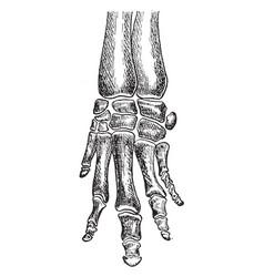 Bones of coney foot vintage vector