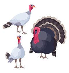 Turkeys on white background vector