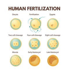 Human fertilization vector