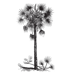 Cabbage palm vintage engraving vector