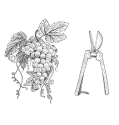 Grape and scissors hand drawn engraved old looking vector