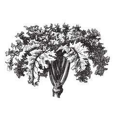 Swedish turnip vintage engraving vector