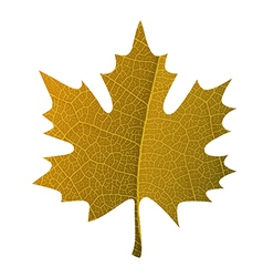 Orange maple leaf symbol isolated With leaf veins vector image