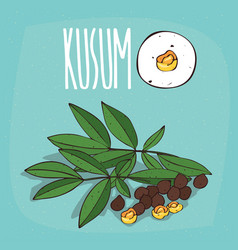 set of isolated plant kusum seeds herb vector image vector image