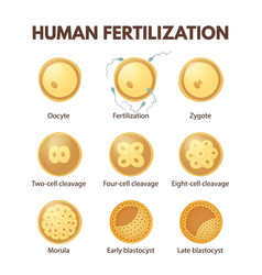 Human fertilization vector