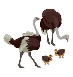 Ostriches with their children on white background vector image