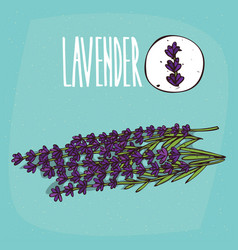 Set of isolated plant lavender flowers herb vector