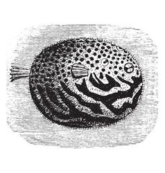 Pufferfish vintage vector