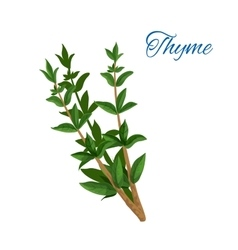 Thyme branch herb with leaves isolated icon vector