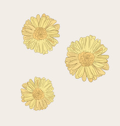 Chrysanthemum flower sketch vector