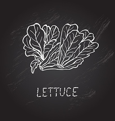 Hand drawn lettuce vector
