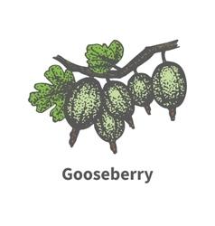 Hand-drawn bunch ripe green gooseberry vector