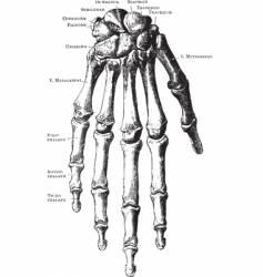 vintage hand skeleton vector image vector image