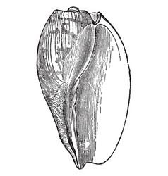 Voluta cymbium vintage vector