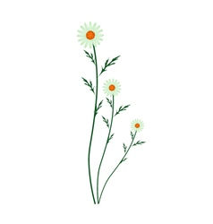 Green daisy blossoms on a white background vector