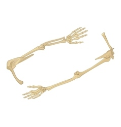 Shoulder bone flat isometric vector