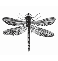 Black dragonfly on white background vector