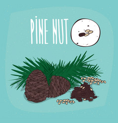 Set of isolated plant pine nut seeds herb vector