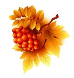 Rowan branches with orange leaves and berries vector
