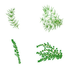 Set of rosemary and thyme in realistic style vector
