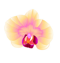 Beautiful orchid phalaenopsis yellow flower vector