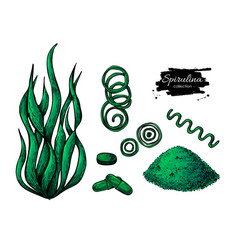 Spirulina seaweed powder hand drawn vector