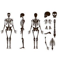 human bones skeleton structure elements set skull vector image