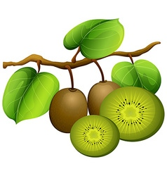 Kiwi fruit on branch vector image