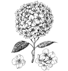Hydrangea flower set hand drawn detailed hortensia vector