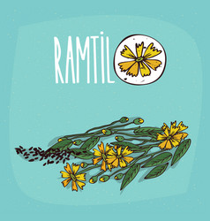set of isolated plant ramtil flowers herb vector image