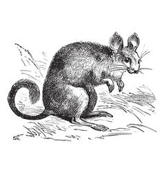 Chinchilla vintage engraving vector image vector image