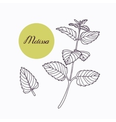 Hand drawn melissa branch with leaves isolated on vector