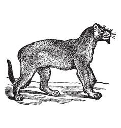 Puma vintage vector