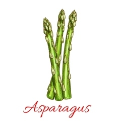 Asparagus vegetable stem isolated sketch vector