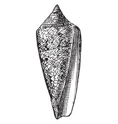 Conus gloria maris vintage vector